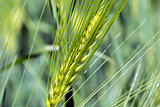 Spikelets of young wheat close-up. ears of green unripe wheat.