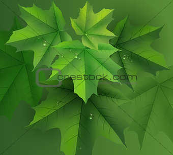 Green maple leaves background and dew drops