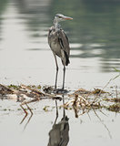 Grey heron perched on plants in river