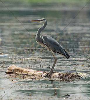 Grey heron perched on wooden log in river