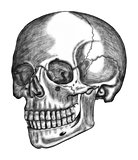 illustration of human skull isolated on white background