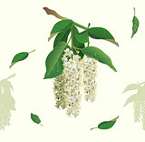 White flowers of bird cherry tree seamless background