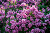 Spring Blooming Lilac Trees Panorama