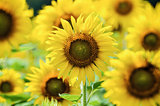 Sunflower or Helianthus Annuus in the farm