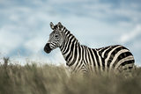 Zebra in the wild savannah, Serengeti, Africa