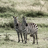 Two zebras, Serengeti, Africa