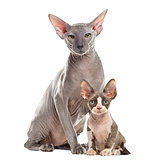Two Peterbald sitting and looking at the camera, isolated on whi