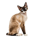 Side view of a Devon rex sitting isolated on white