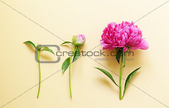 Beautiful purple peony, flower arrangement