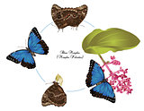 Life of Blue morpho