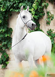 white  purebred arab at grape background