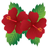 Red Hibiscus Flowers with Leaves Color Illustration
