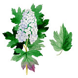 Wildflower Hydrangea flower in a watercolor style isolated.
