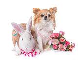 dressed white rabbit and chihuahua