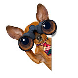 watching dog with binoculars
