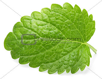 Green lemon balm leaf (Melissa officinalis) on white