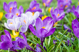 multicoloured crocus flowers growing in grass