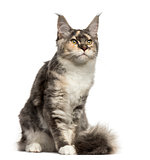 Maine Coon cat sitting isolated on white