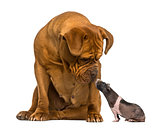 Dogue de Bordeaux, looking down at a hairless guinea pig, isolat