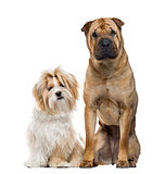Shih Tzu and Shar Pei sitting, isolated on white
