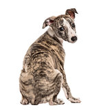 Rear view of a whippet looking backwards, 2,5 months, isolated o