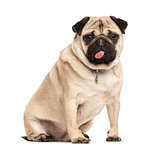 Pug sitting sticking the tongue, isolated on white