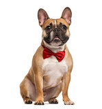 Pug with a red bow tie sitting, isolated on white