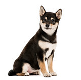 Puppy Shiba Inu sitting, 4 months old, isolated on white