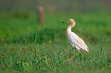 Cattle Egret in Greenery