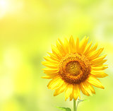 Sunflower on blurred sunny background