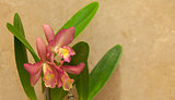 Cattleya orchid flower blooms