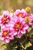 Pink Dahlia flower called Fascination