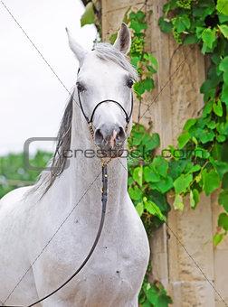 portrait of white purebred arabian stallion