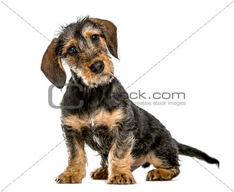 Dachshund puppy bending head, 4 months old, isolated on white