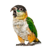 Black-capped parrot opening beak, isolated on white