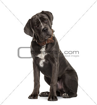 Cane Corso sitting and bending head, isolated on white