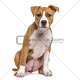 American Staffordshire Terrier puppy, 4 months old, isolated on