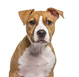 Close-up of an American Staffordshire Terrier puppy, isolated on