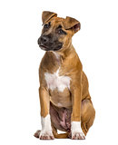 American Staffordshire Terrier puppy (4 months old)
