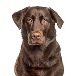 Close-up of a Labrador Retriever , isolated on white