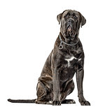 Cane corso sitting, isolated on white