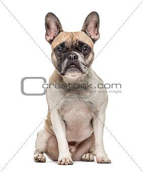 Old french bulldog sitting, isolated on white