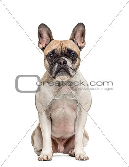 Olf french bulldog sitting, isolated on white