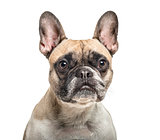 Close-up of an old french bulldog, isolated on white