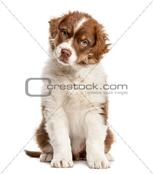 Australian Shepherd puppy sitting, 2 months old, isolated on whi