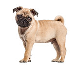 Side view of a pug puppy standing, isolated on white