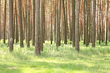 Pine forest with beautiful high pine trees in summer