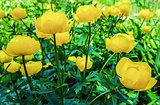 Beautiful yellow flowers Trollius asiaticus on flowerbed in gar