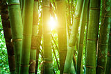 Asian bamboo forest and sunlight