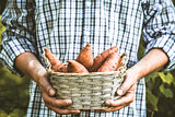 Farmer with sweet potatoes